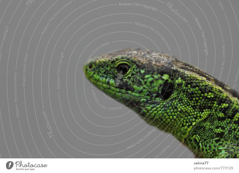 sand lizard Environment Nature Animal Summer Meadow Wild animal Scales 1 Observe Crawl Exotic Thin Speed Gray Green Attentive Watchfulness Patient Resolve