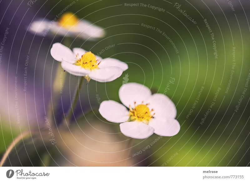 """Strawberry Blossom Drill Nature Plant Sunlight Summer Flower Agricultural crop """"Strawberry blossoms Blossoms Garden Blossoming Eating To enjoy Yellow Gold Green"""