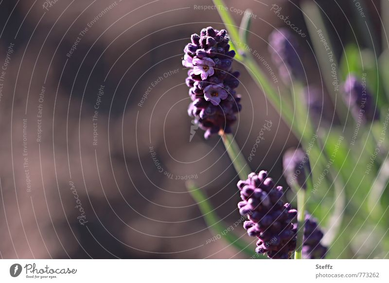 lavender Well-being Relaxation Environment Nature Summer Plant Flower Agricultural crop Lavender Medicinal plant Garden plants Fragrance Natural Beautiful Brown