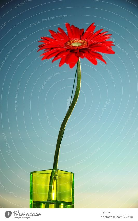 gerbera Flower Vase Green Red Summer Spring Blossom Gaudy Stalk Blue Sky Beautiful weather Multicoloured
