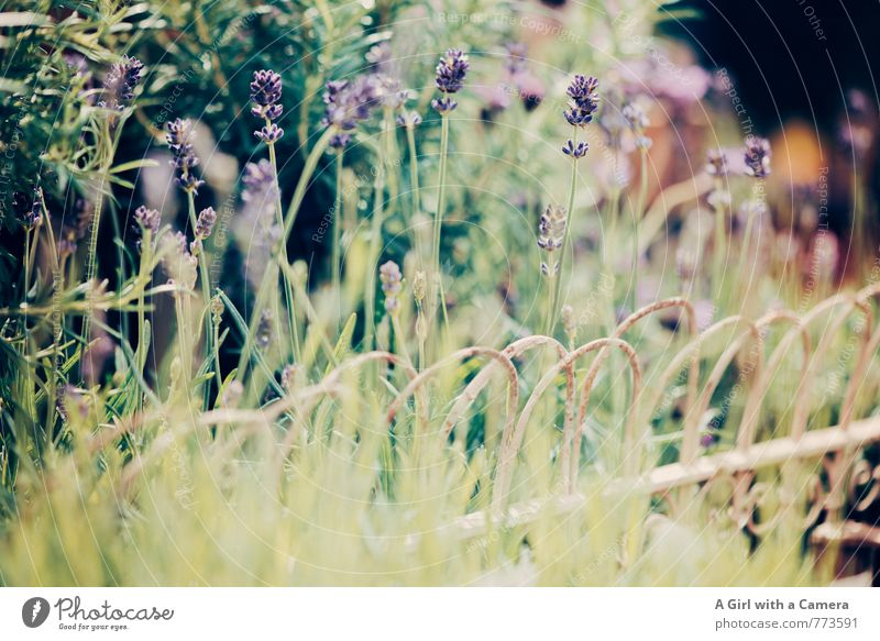 lavender Nature Plant Spring Beautiful weather Flower Lavender Garden Blossoming Growth Fragrance Violet Summery Row of seats Subdued colour Exterior shot