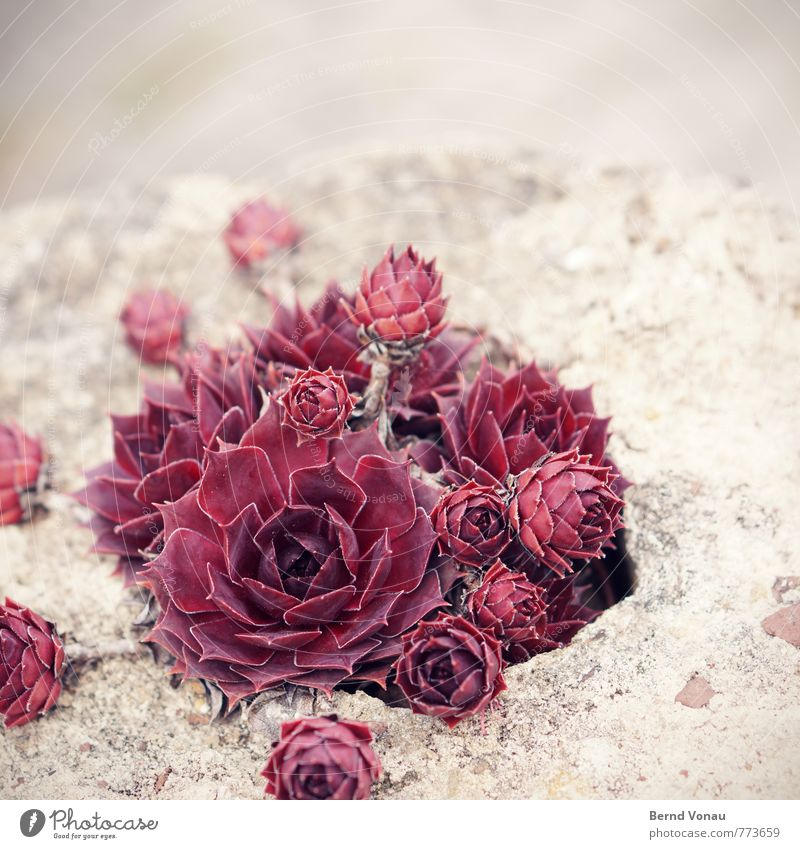 Plant Red Flower Gray Stone Bright Brown Garden Esthetic Rose Dry Sandstone Modest