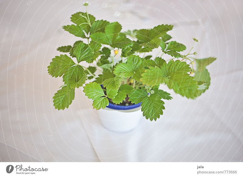 Plant Beautiful Elegant Decoration Esthetic Strawberry Foliage plant Agricultural crop