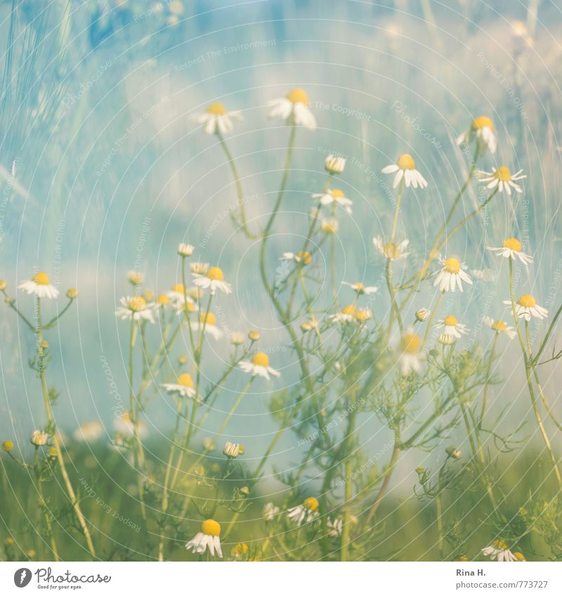 Nature Plant Landscape Environment Meadow Spring Grass Natural Happy Authentic Beautiful weather Double exposure Spring fever Chamomile
