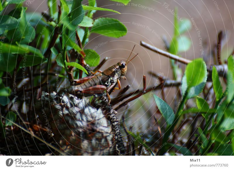 Ready to jump Nature Plant Forest Animal 1 Sit Athletic Brown Green Locust Jump Insect Living thing Leaf Colour photo Exterior shot Close-up Day