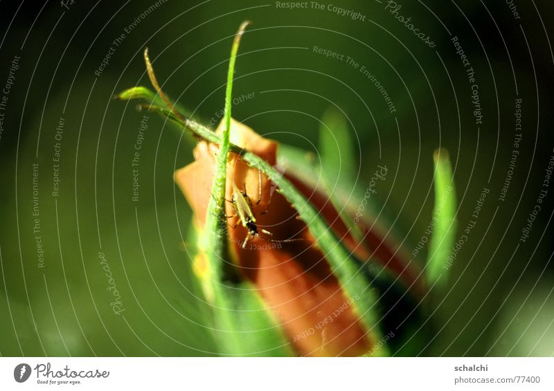 Green Relaxation Blossom Orange Rose Soft Insect Observe Point Bud Aggression Beetle Bow