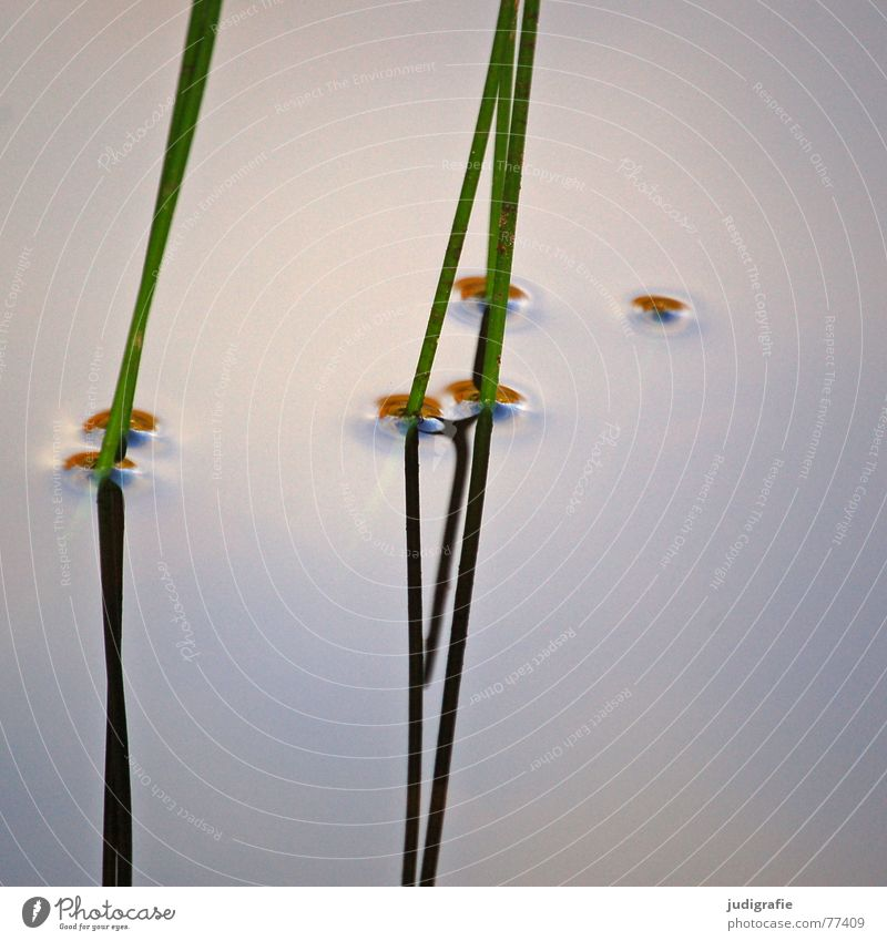 | | | | Lake Grass Stalk Mirror Reflection Green Growth Plant Surface of water Calm Pond Body of water Relaxation Harmonious Vertical Common Reed Delicate Zen