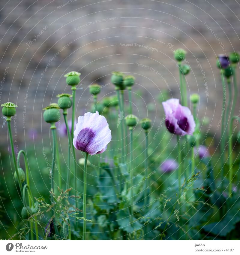 Nature Beautiful Plant Spring Leisure and hobbies Field Living or residing Wild Esthetic To enjoy Violet Well-being Bouquet Poppy Intoxicant Medication