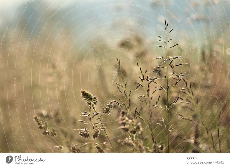 Nature Blue Plant Summer Relaxation Landscape Warmth Meadow Grass Brown Field Elegant Growth Gold Discover Ease
