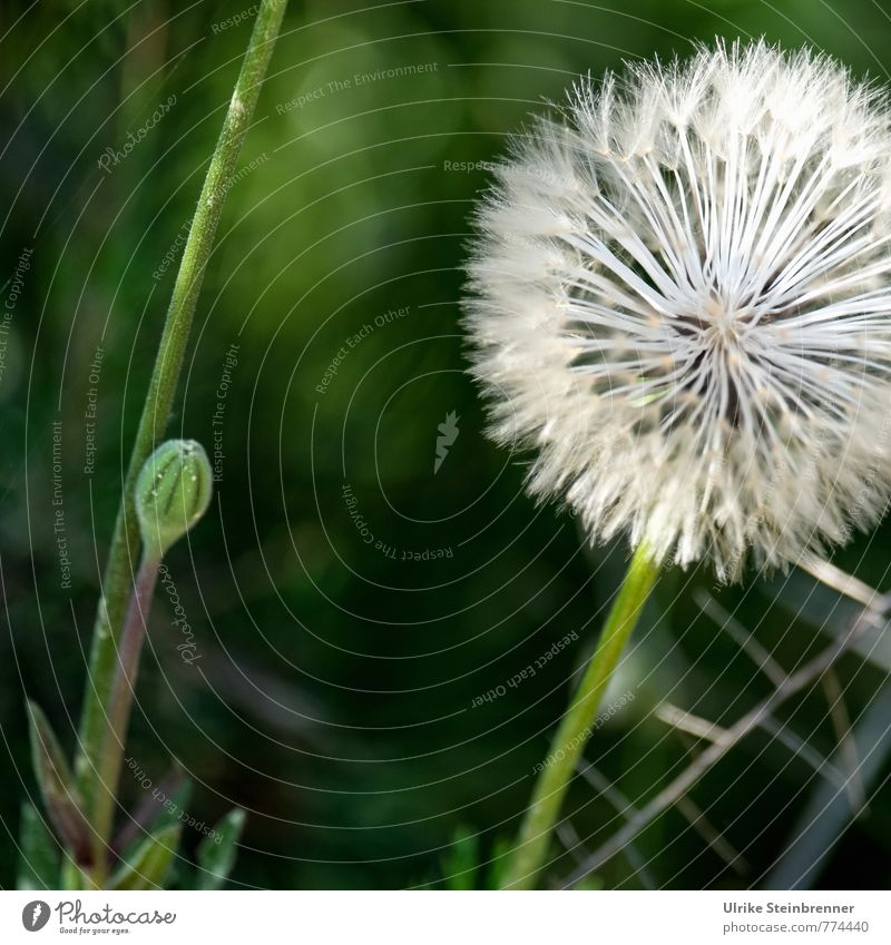 Hairy | Gust of wind hairstyle Environment Nature Plant Spring Flower Wild plant Dandelion Meadow Field To hold on Natural Soft Ease taraxacum composite