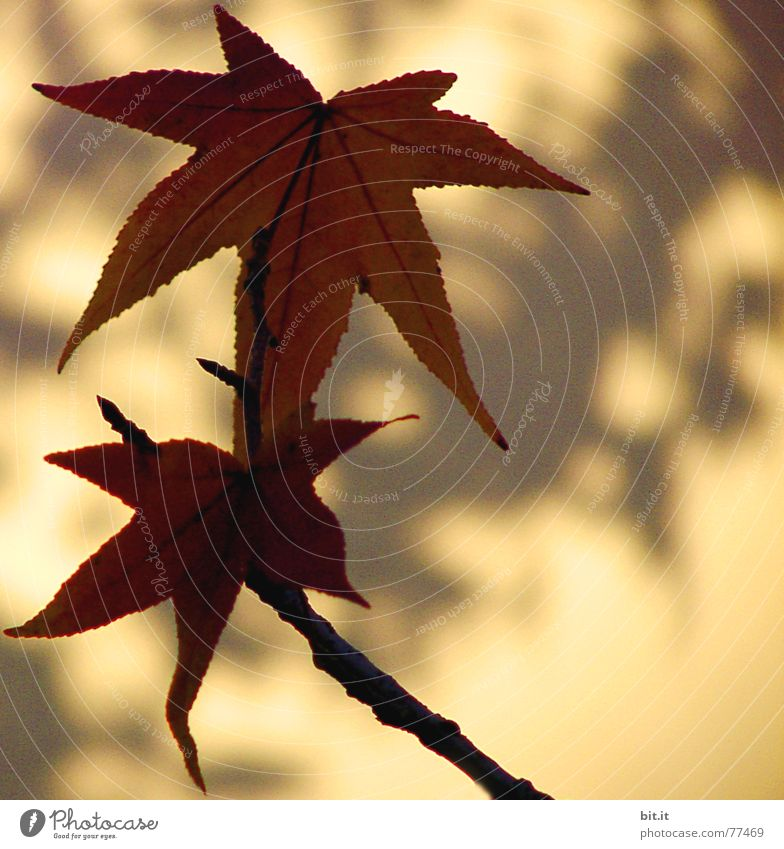 Star whispered Plant Sunlight Autumn Beautiful weather Leaf Brown Yellow Ease Autumnal Autumn leaves Leaf shade Wall (building) Contour Autumnal colours Easy