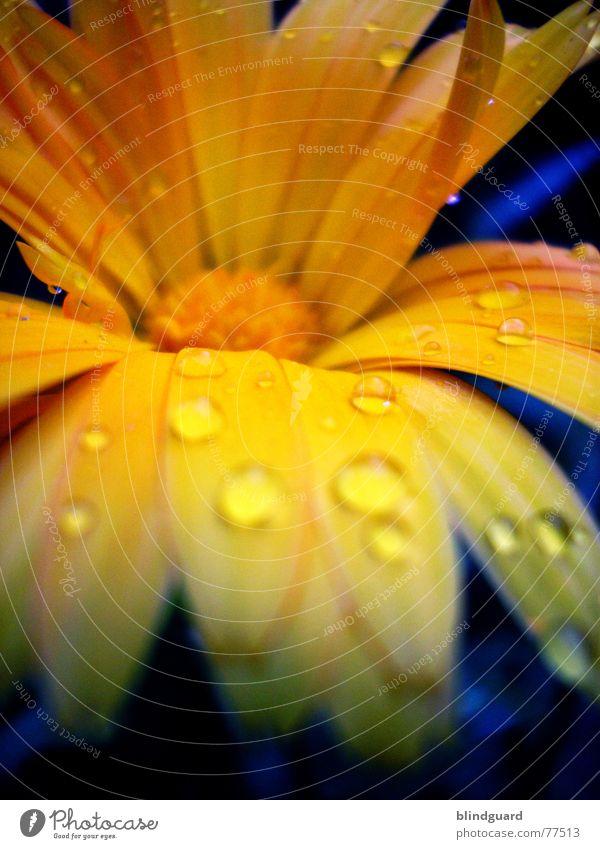 Beautiful Plant Summer Joy Yellow Life Blossom Garden Park Orange Rain Glittering Drops of water Romance Mysterious Delicate