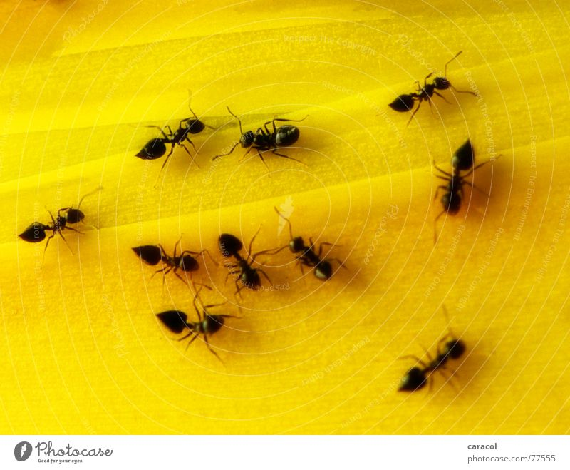 Black Animal Yellow Small Insect Crawl Ant