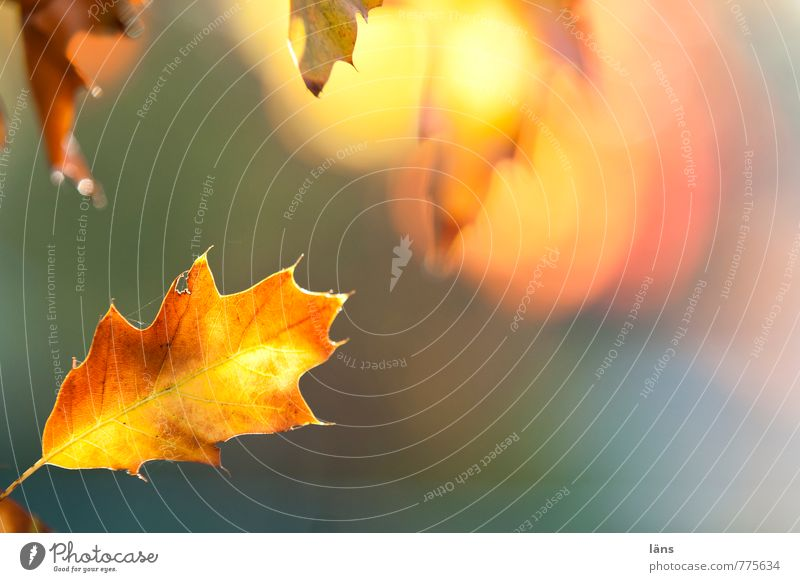 Nature Plant Leaf Yellow Environment Autumn Brown Gold Illuminate Change Transience Oak tree Oak leaf