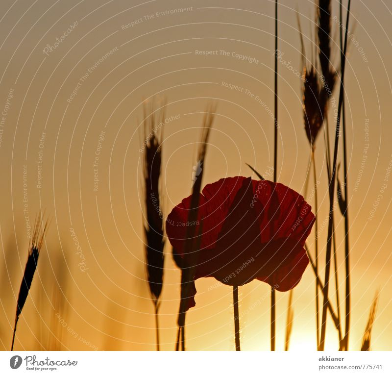 A poppy flower on the grain taken Environment Nature Plant Sun Sunrise Sunset Sunlight Summer Autumn Flower Grass Blossom Foliage plant Agricultural crop Field