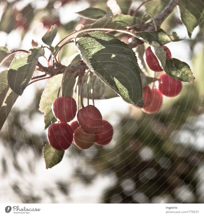 cherry season Food Fruit Cherry Nutrition Healthy Healthy Eating Summer Plant Tree Leaf Agricultural crop Cherry tree Discover Hang Illuminate Growth Fresh