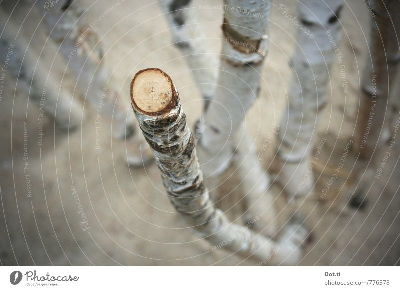 I go to Birkenstock Plant Tree Wood Broken Birch tree birch trunk Tree bark sawn off cutting surface Cross-section Branch Round Diameter Colour photo