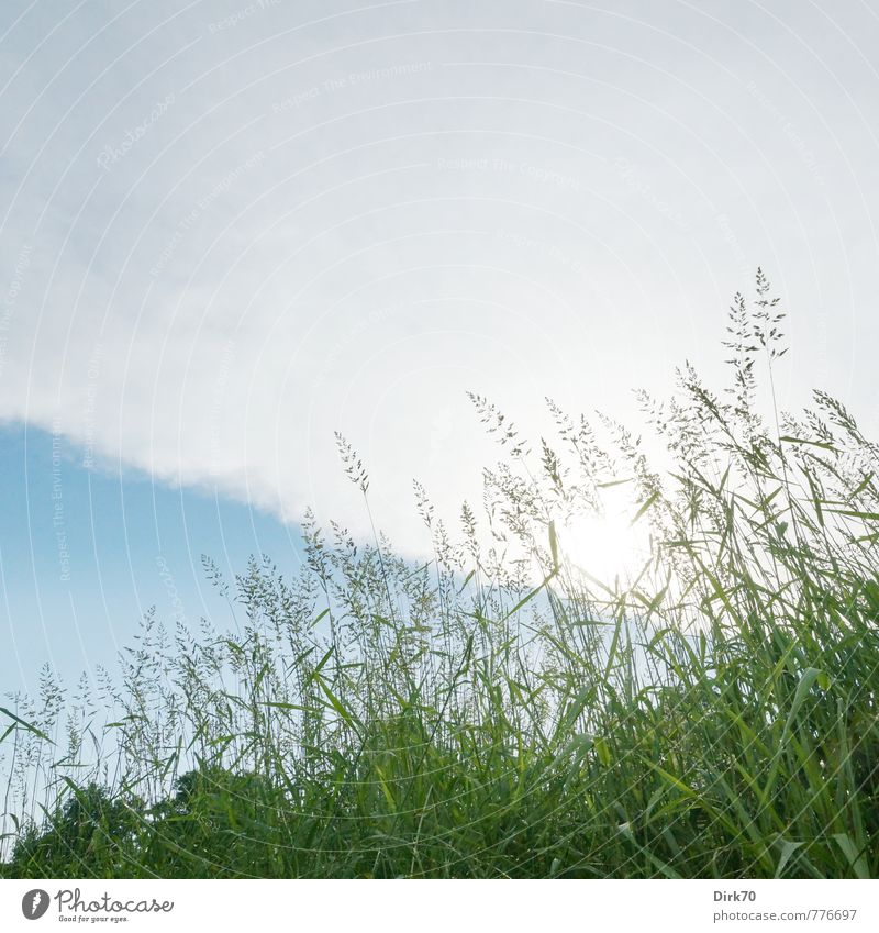 Meadow from below Nature Plant Clouds Storm clouds Sun Summer Beautiful weather Tree Grass Leaf Foliage plant Ear of corn Blade of grass Field Pasture