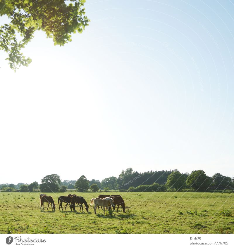 summer pasture Luxury Ride Nature Landscape Cloudless sky Sunlight Summer Beautiful weather Tree Leaf Twig Meadow Field Forest Pasture Manmade landscape Bremen
