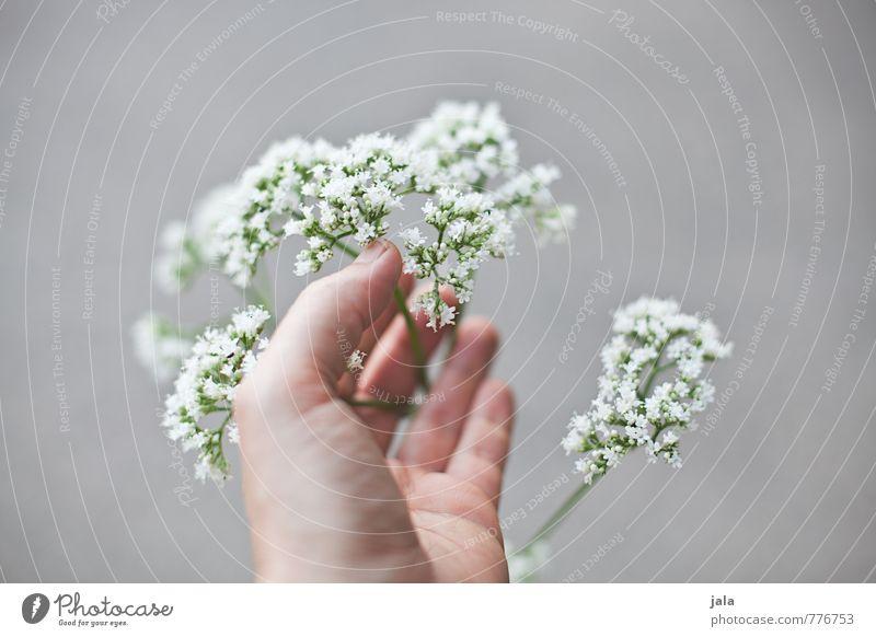 Delicate Feminine Hand Fingers Plant Flower Blossom Wild plant Esthetic Beautiful Soft Retentive Touch Colour photo Exterior shot Neutral Background Day