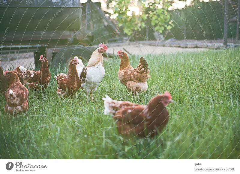 Nature Plant Summer Animal Meadow Grass Natural Happy Free Fresh Group of animals Good Hut Farm animal Pack Rooster