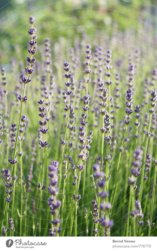 Nature Beautiful Green Plant Warmth Growth Bushes Fresh Violet Fragrance Lavender