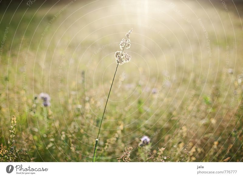meadow Environment Nature Landscape Plant Summer Beautiful weather Grass Wild plant Meadow Natural Warmth Colour photo Exterior shot Deserted Day Light