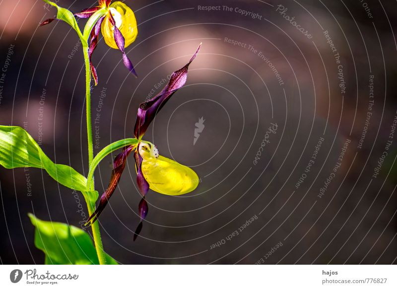 German orchids, lady's slipper, Cypripedium calceolus Plant Orchid Blossom Wild plant Threat Safety (feeling of) Lady's slipper Seldom red list Germany