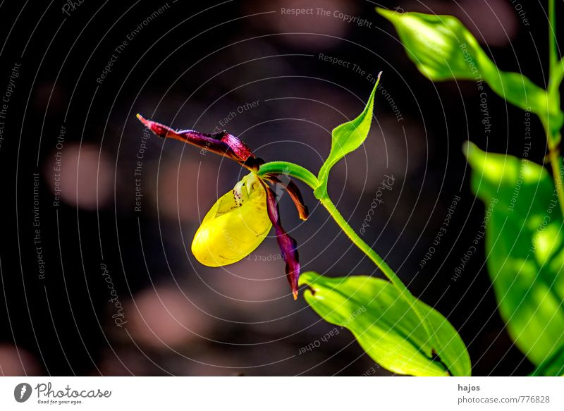 Beautiful Green Plant Flower Forest Yellow Blossom Violet Safety (feeling of) Orchid Wild plant Seldom Lady's slipper Swabian Jura