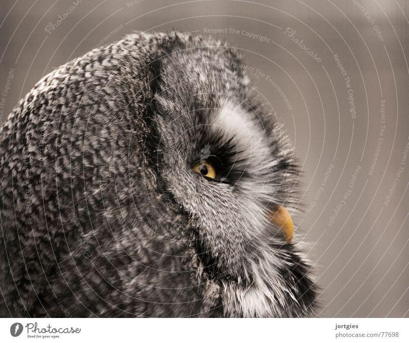 vigilant Owl birds Great grey owl Cry Strix Bird Animal Night Calm Dark nocturnal Eyes