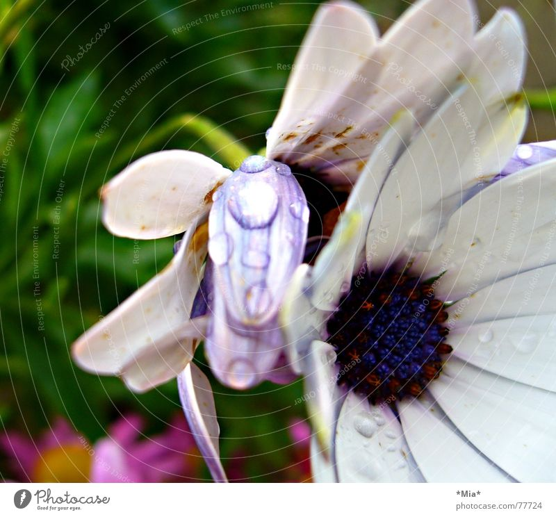 White Flower Green Blue Plant Blossom Garden Rain Bright Wet Rope Fresh Perspective Growth Violet Blossom leave