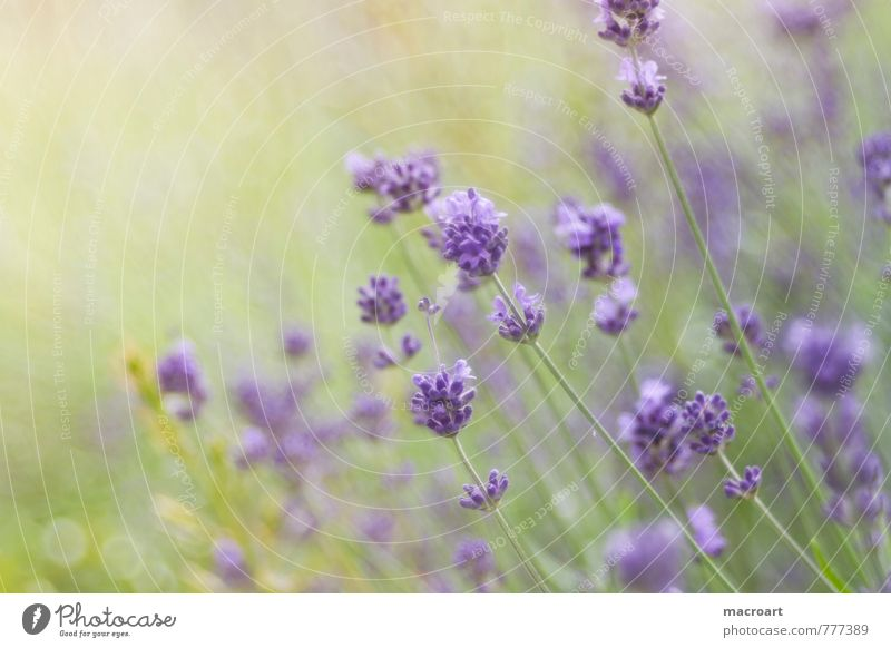 Nature Green Plant Summer Relaxation Flower Spring Blossom Natural Wellness Violet Well-being Fragrance Odor Lavender Spa