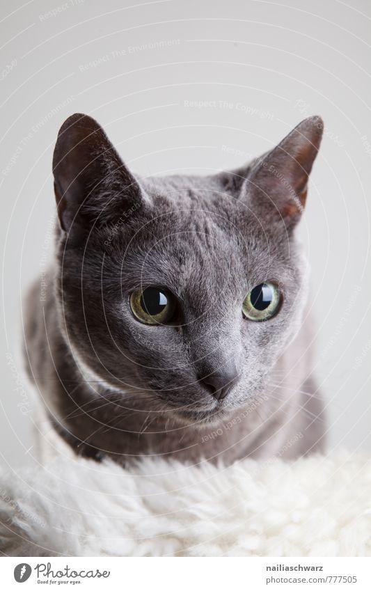 Cat Blue Beautiful Relaxation Animal Gray Elegant Idyll Cute Friendliness Curiosity Pure Trust Pet Domestic cat Interest