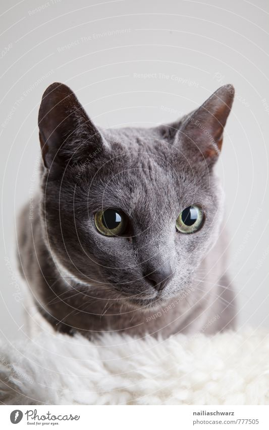 Russian Blue Elegant Animal Short-haired Pet Cat Friendliness Curiosity Cute Beautiful Gray Trust Love of animals Purity Interest Relaxation Idyll Pure