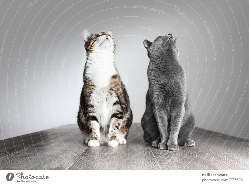 Two cats Elegant Animal Short-haired Pet Cat Funny Curiosity Cute Positive Beautiful Blue Gray Love of animals Peaceful Interest Hope Domestic cat portrait