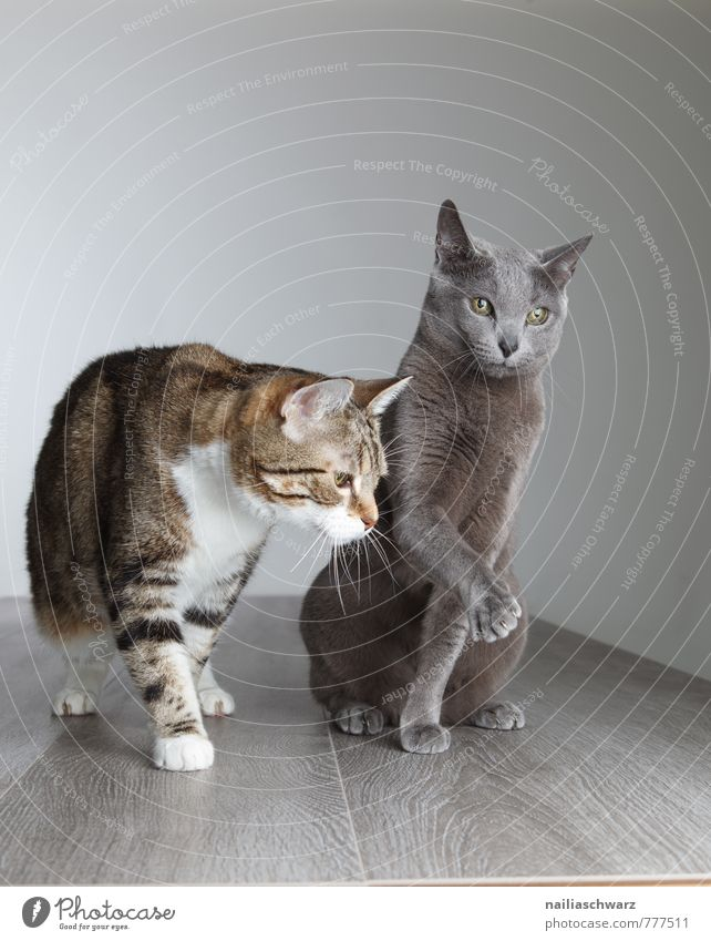 Two cats Elegant Animal Short-haired Pet Cat 2 Pair of animals Animal family Observe Communicate Curiosity Cute Blue Gray Peaceful Friendship Attachment