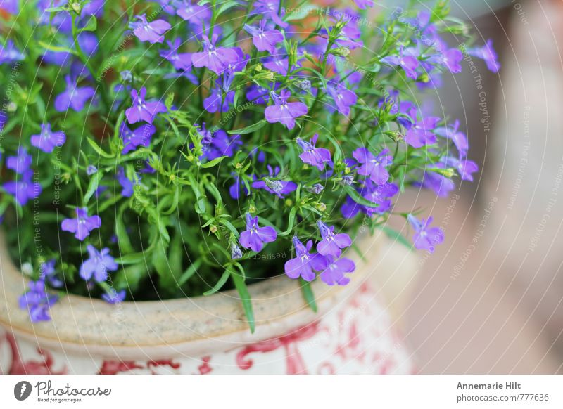 Flowerpot2 Nature Plant Bright Blue Multicoloured Violet Herbs and spices Garden Colour photo Exterior shot Deep depth of field