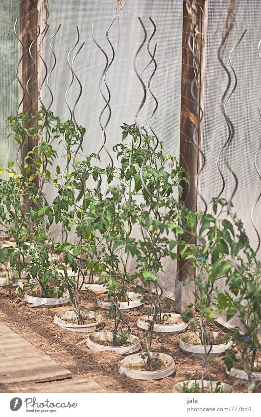 tomatoes Gardening Agriculture Forestry Plant Leaf Foliage plant Agricultural crop Pot plant Tomato plantation greenhouse Natural Breed Colour photo