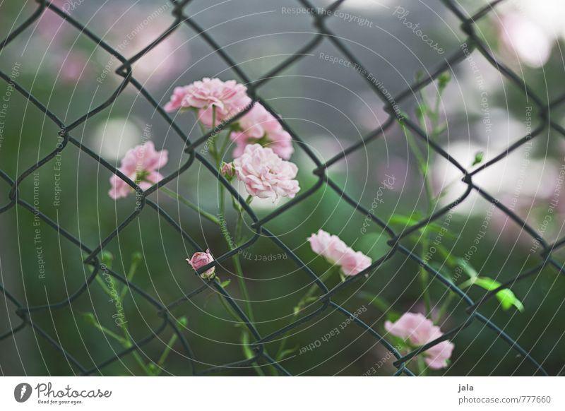 Nature Beautiful Green Plant Flower Feminine Pink Esthetic Soft Rose Fence