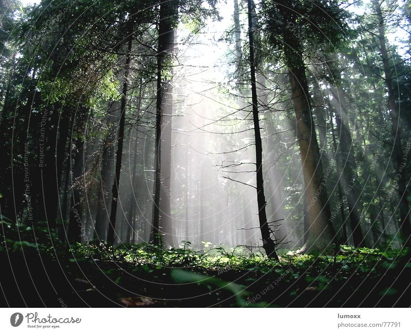 foggy sunshine Colour photo Exterior shot Deserted Day Light Light (Natural Phenomenon) Sunlight Sunbeam Worm's-eye view Nature Air Fog Plant Tree Moss Ivy