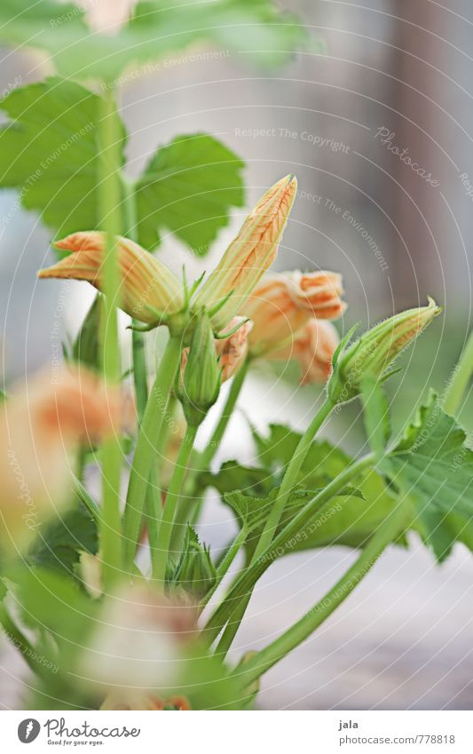 Plant Leaf Blossom Natural Healthy Garden Fresh Esthetic Good Sustainability Agricultural crop Pot plant Zucchini Zucchini blossom