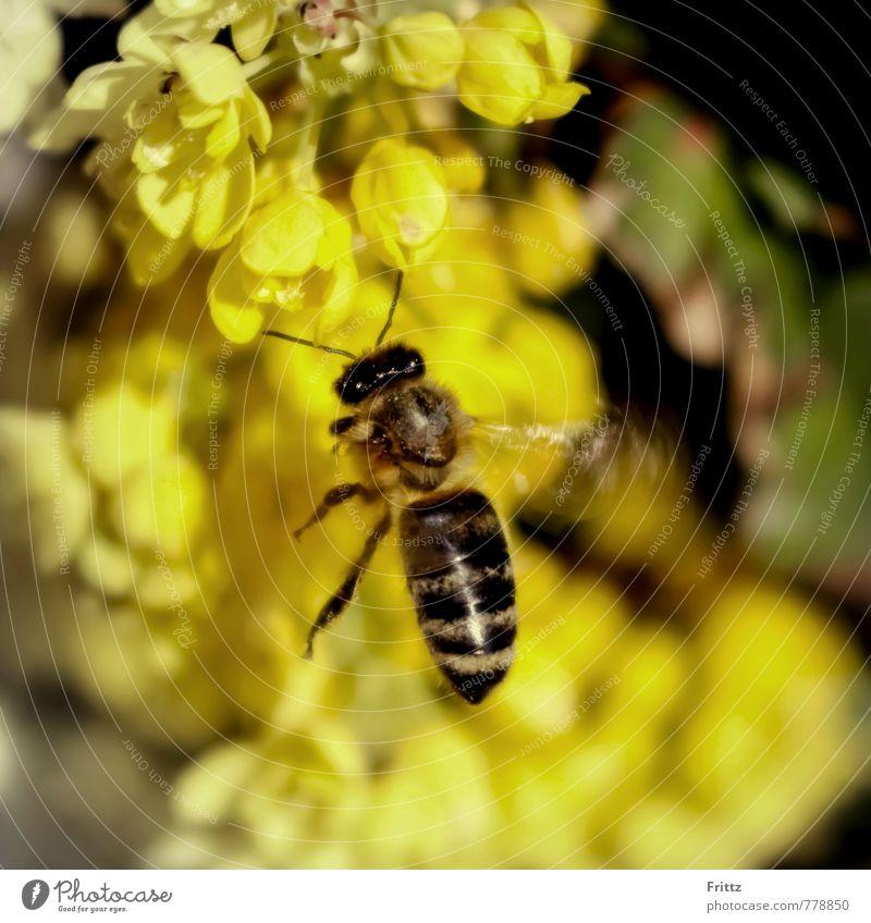 Maya Nature Animal Plant Blossom Wild plant Wild animal Bee apocrita dim apoidea Apiformes Honey bee Apis mellifera 1 Flying Brown Yellow Black yellow blossoms