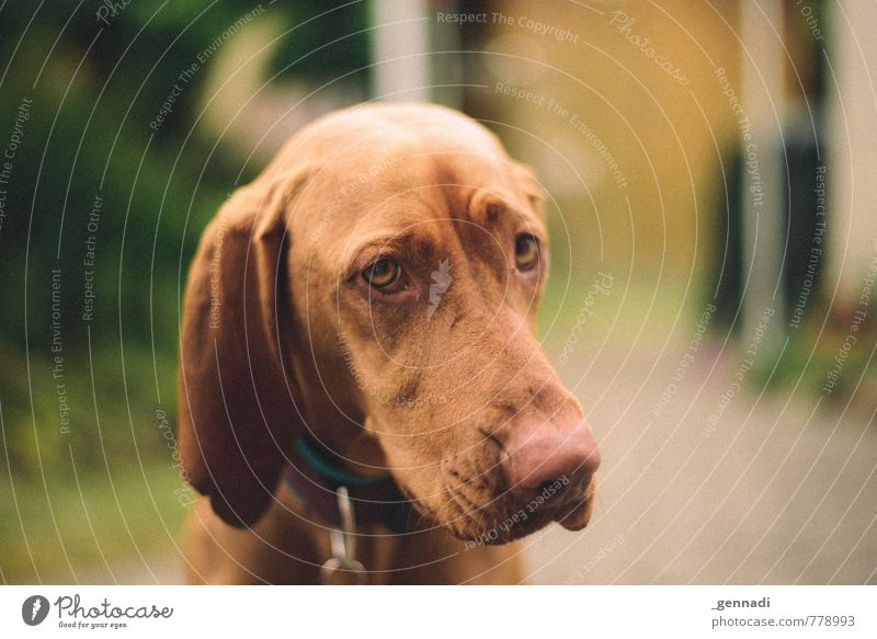 dog Pet Dog 1 Animal Beautiful Beg Puppydog eyes Ear Lop ears Snout Eyes Colour photo Deserted Copy Space right Day Animal portrait Looking into the camera