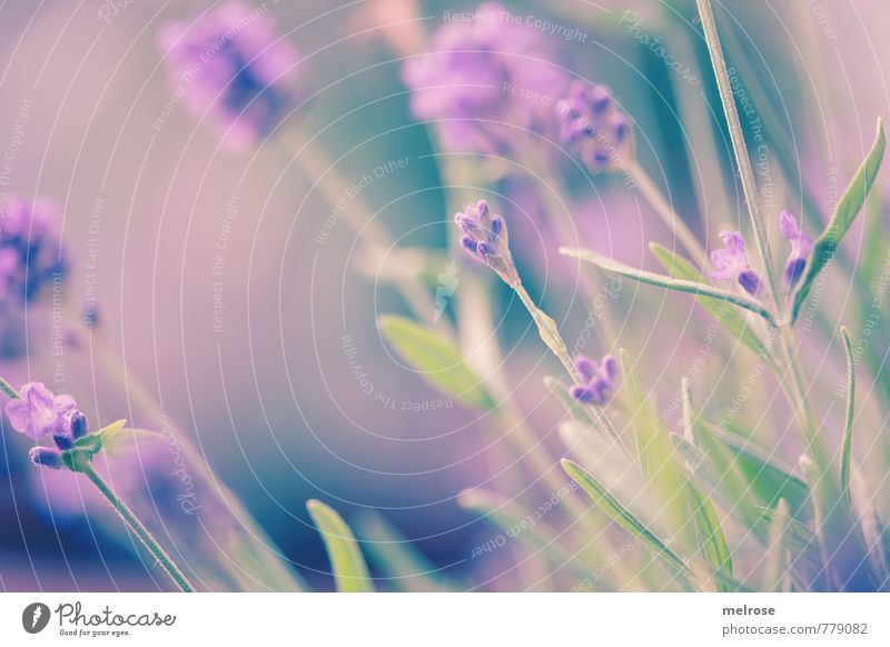 garden culture Harmonious Senses Fragrance Nature Plant Summer Leaf Blossom Lavender Garden Terrace Breathe Touch Blossoming Relaxation Dream Faded Growth Blue