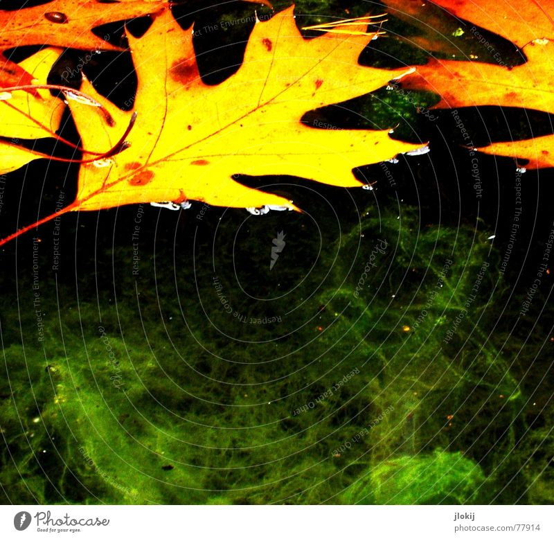 With your permission Algae Leaf Hover Green Vessel Autumn Disgust Slimy Oak tree Flow Yellow Navigation Transience Water Orange disgust sb. Acorn swimming