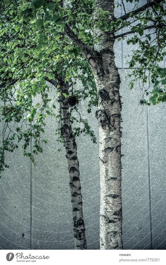 city green Tree Leaf Green Tree trunk Birch tree Birch leaves Concrete Wall (building) Town Concrete wall Colour photo Exterior shot Day