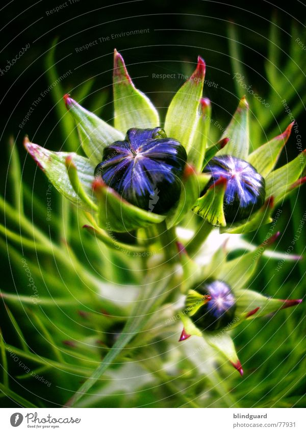 Blue Green Beautiful Plant Summer Joy Life Blossom Violet Mysterious Delicate Bud Smooth Noble Strange Fragile