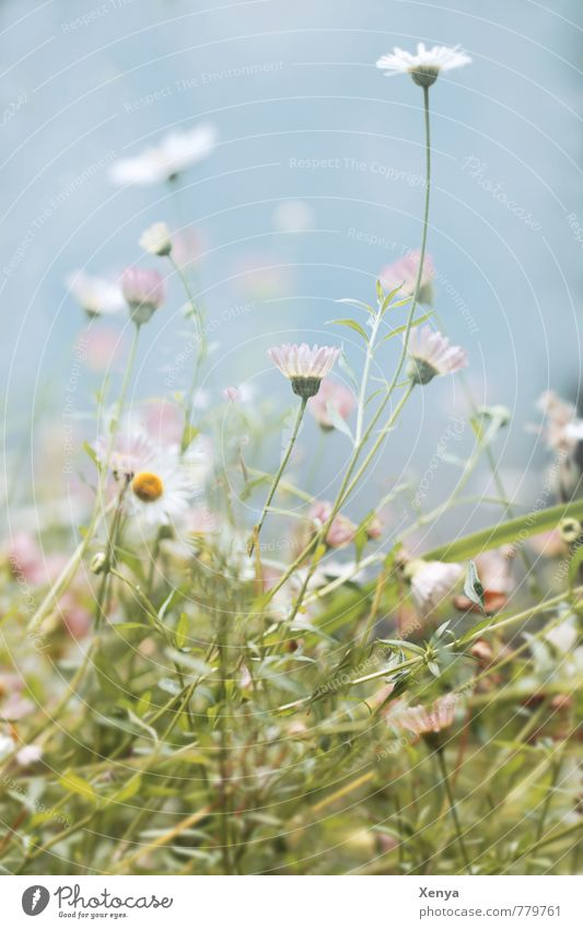Nature Plant Green White Summer Flower Environment Meadow Garden Park Blossoming Muddled Daisy Wild plant