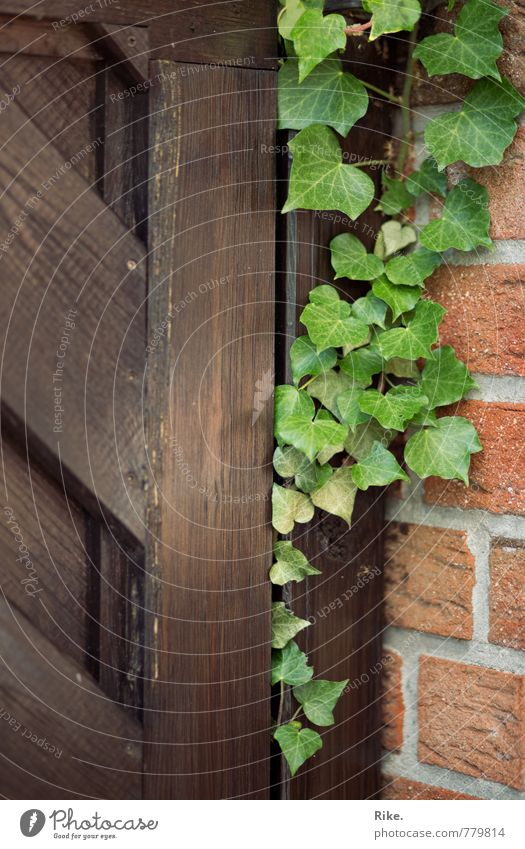 United. Nature Plant Spring Summer Ivy Leaf Foliage plant Wild plant Garden Wall (barrier) Wall (building) Facade Door Wood Growth Esthetic Natural Green