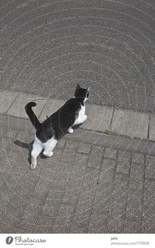 CROSS OVER. Street Lanes & trails Sidewalk Curbside Animal Pet Cat 1 Walking Esthetic Traverse Colour photo Exterior shot Deserted Copy Space top